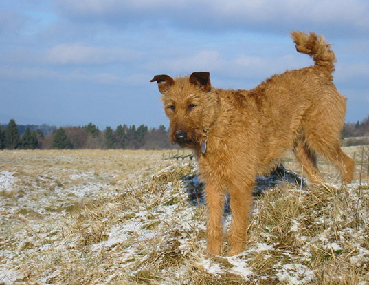 Picture of a istrian coarse-haired hound