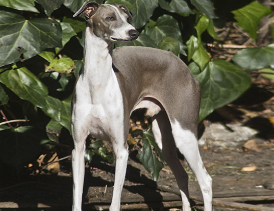Picture of a italian greyhound