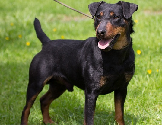 Picture of a jagdterrier