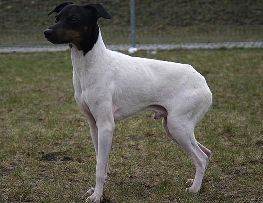 Picture of a japanese terrier