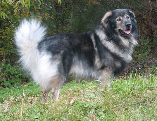 Picture of a karst shepherd dog