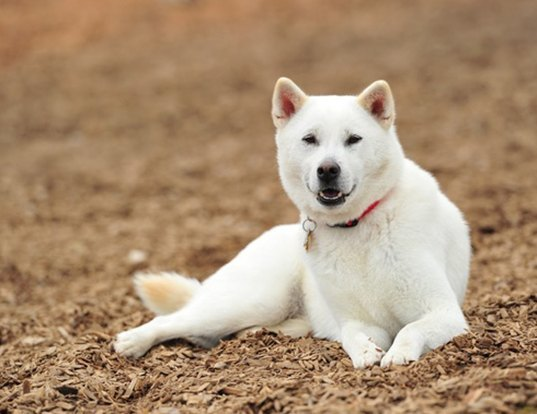 Picture of a kishu ken