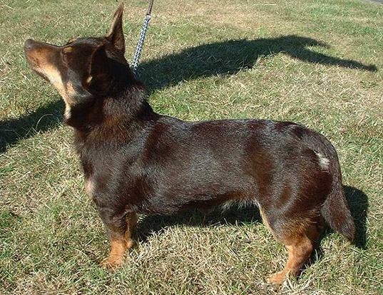 Picture of a lancashire heeler