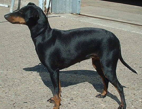 Picture of a manchester terrier