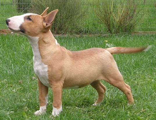 Picture of a miniature bull terrier