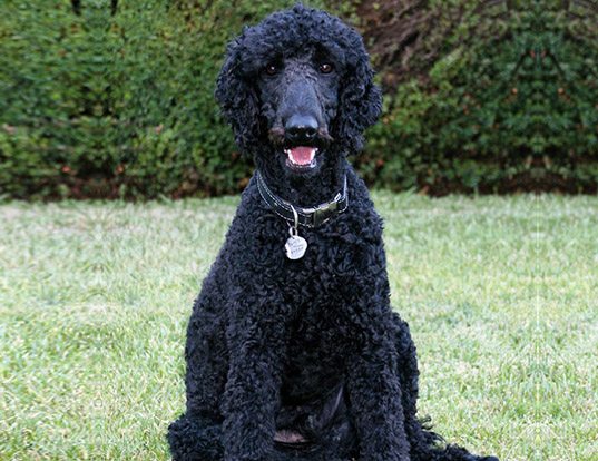 Picture of a multi-colored standard poodle
