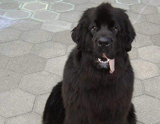 Picture of a newfoundland