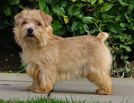 Picture of a norfolk terrier