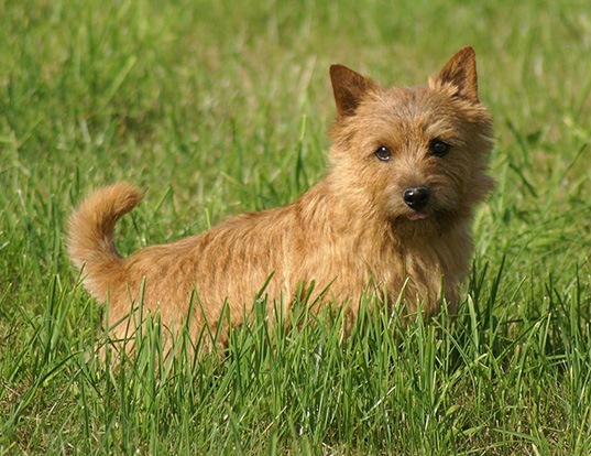 Picture of a norwich terrier