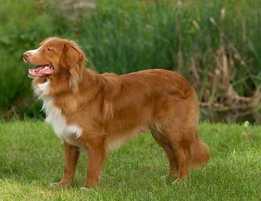 Picture of a nova scotia duck tolling retriever