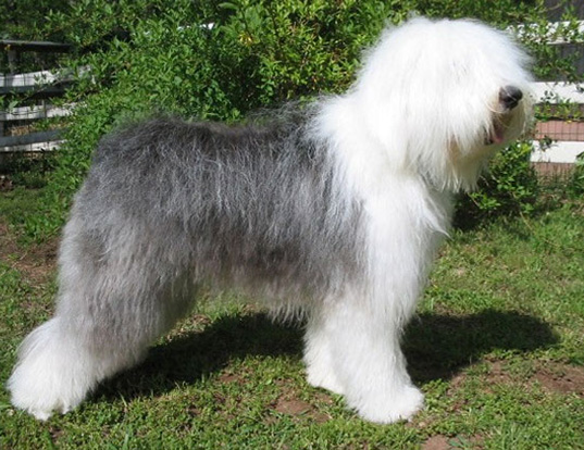 Picture of a old english sheepdog