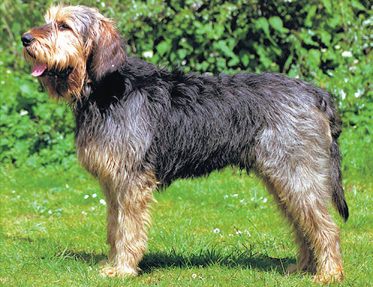 Picture of a otterhound
