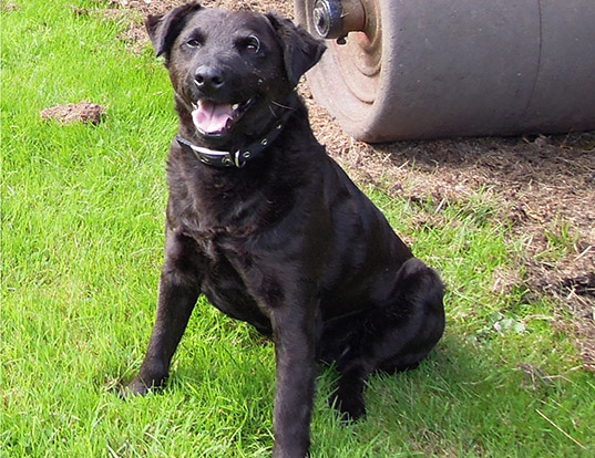 Picture of a patterdale terrier
