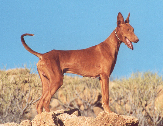 Picture of a podenco canario