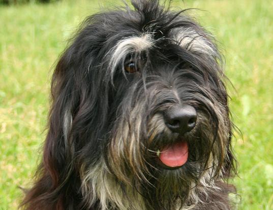 Picture of a portuguese sheepdog