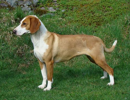 Picture of a posavaz hound
