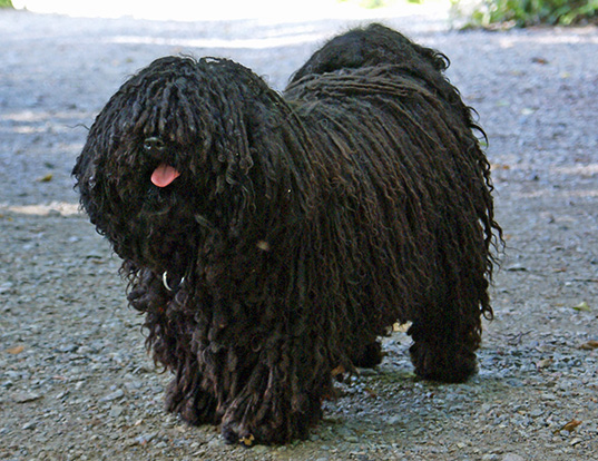 Picture of a puli