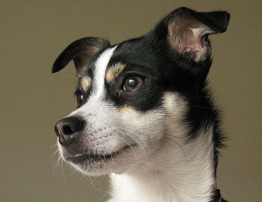 Picture of a rat terrier