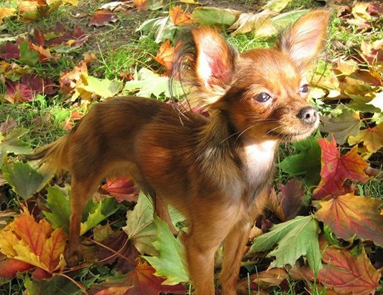 life expectancy of chihuahua life span of chihuahua 1063