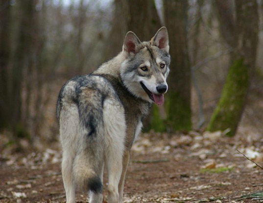 Picture of a saarloosewolfdog