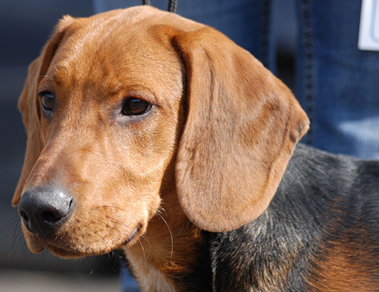 Picture of a schiller hound