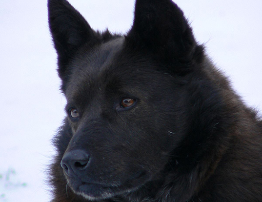 Picture of a schipperke