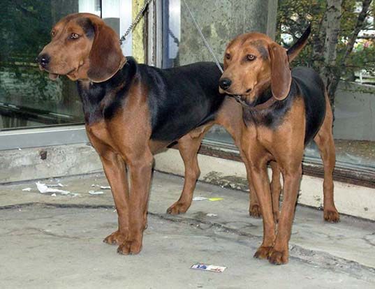 Picture of a serbian hound