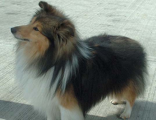 Picture of a shetland sheepdog