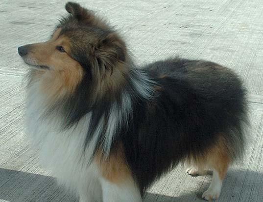 Picture of a shetland sheepdog