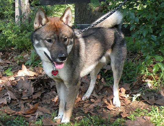 Picture of a shikoku