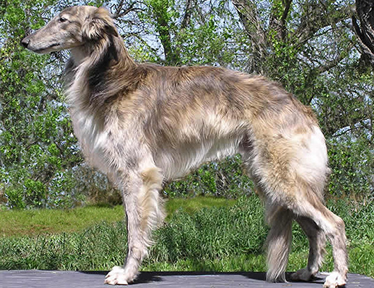 Picture of a silken windhound