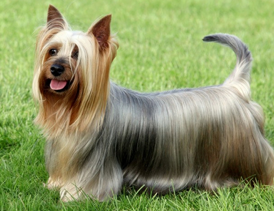 Picture of a silky terrier