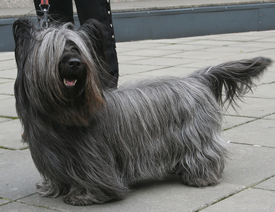 Picture of a skye terrier