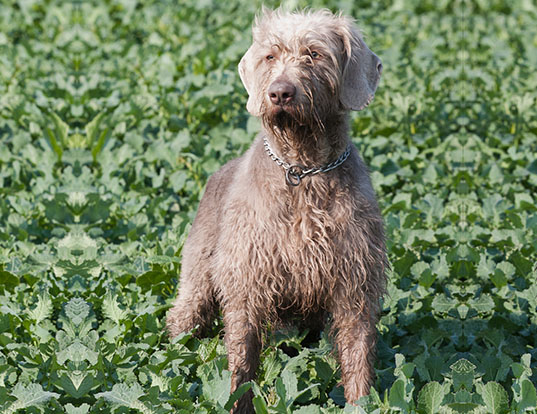 Picture of a slovakian wire-haired pointing dog