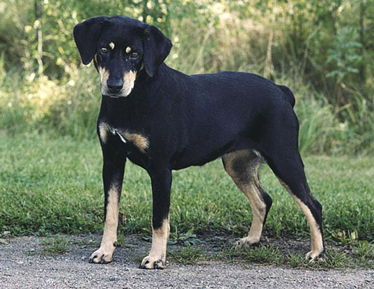 Picture of a smaland hound