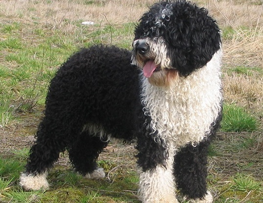 Picture of a spanish water dog