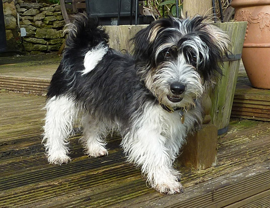 Picture of a sporting lucas terrier