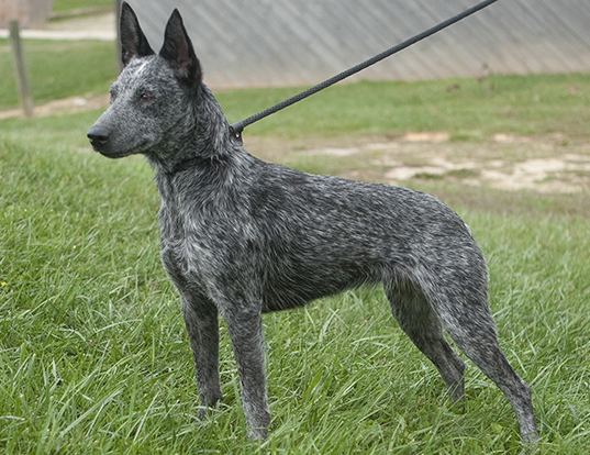 Picture of a stumpy tail cattle dog