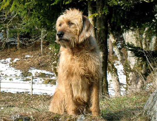 Picture of a styrian coarse haired hound