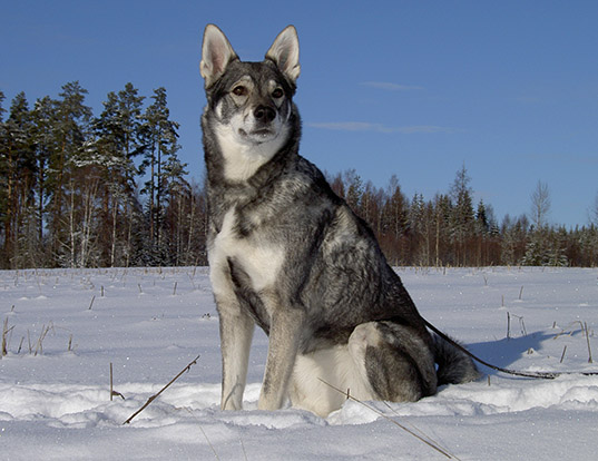Picture of a swedish elkhound
