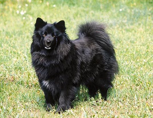 Picture of a swedish lapphund
