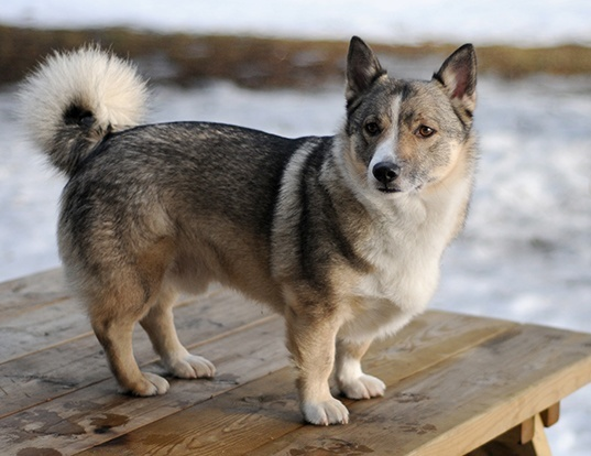 Picture of a swedish vallhund