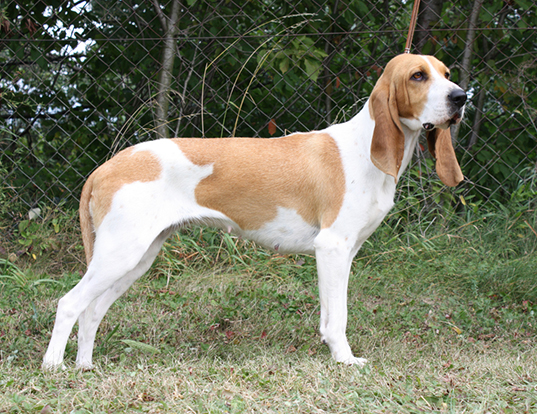 Picture of a swiss hound