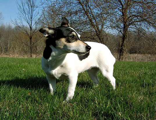 Picture of a teddy roosevelt terrier