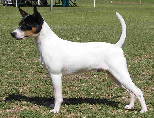 Picture of a tenterfield terrier