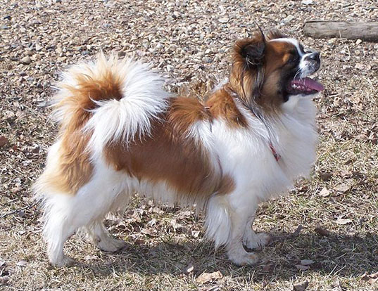 Picture of a tibetan spaniel