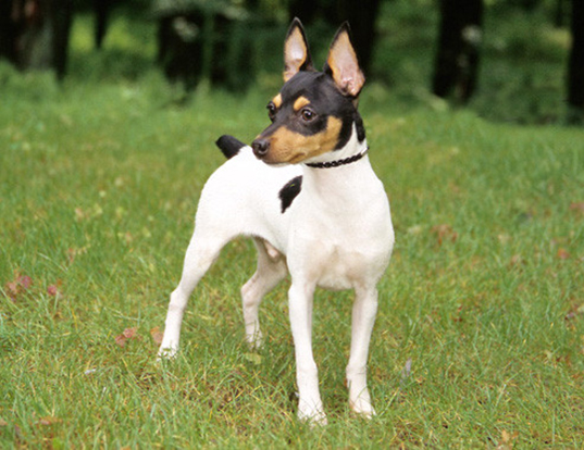 Picture of a toy fox terrier