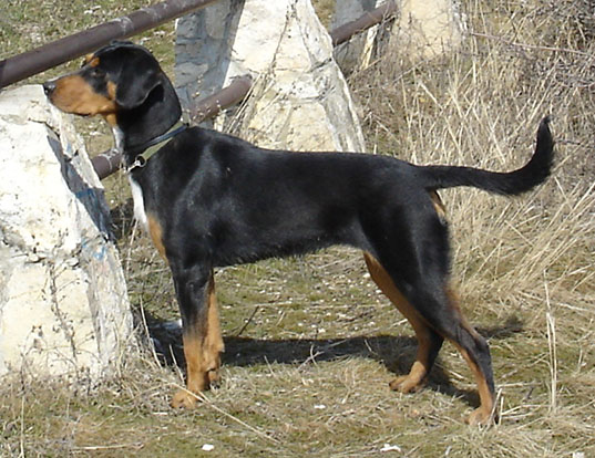 Picture of a transylvanian hound