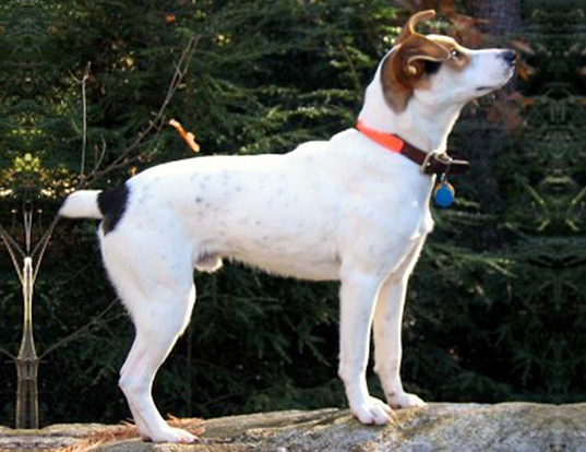 Picture of a treeing feist