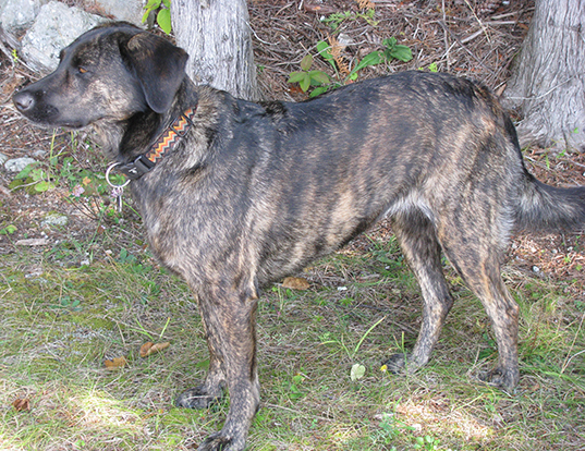 Picture of a treeing tennessee brindle
